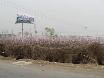 Blooming fruit trees north of Beijing