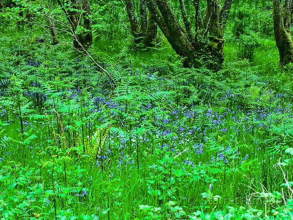 Blue bells are one of the most common wildflowers.  The forest is essentially rain forest as you might see in Washington state.