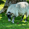 Scotish sheep