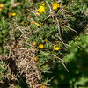 Gorse close up has really nasty thorns.