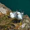 Gulls nesting in a former slate quarry.