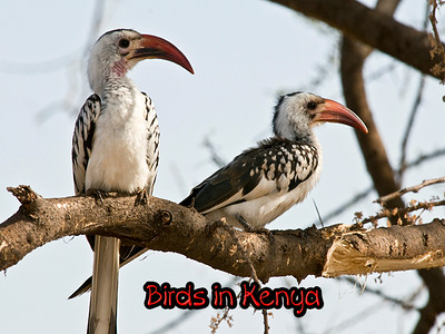 Kenya Experience - Birds