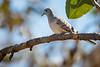 Peaceful Dove (Zebra Dove)