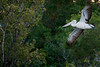 Australian Pelican on the Ord River