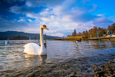 Swan coming in the Lake District