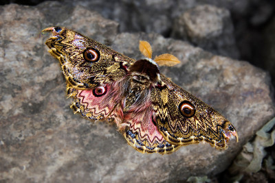 The beautiful Higher Himalayan Emperor Moth - shows scars of its harsh life.