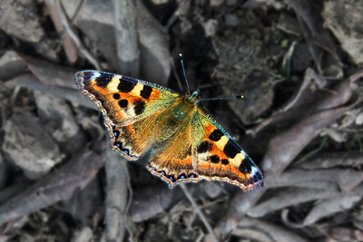 Indian Tortoiseshell, the Common Himalayan Butterfly