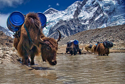 Yaks, loaded with supplies from dismantled expeditions at the base camp, stop for a drink of water on the way down.
