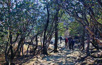 Going through a Rhodendron forest just past Tengboche