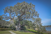 "Middleton Place, Summerville South Carolina: ""The Middleton Oak"""
