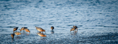 Red Knots,  Seabrook Island