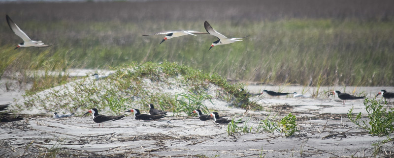 Devaux Bank: Black Skimmer nesting site