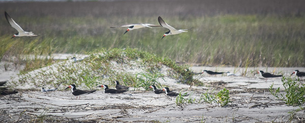Devaux Bank: Black Skimmer nesting site