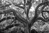 Live Oak, McLeod Plantation, Charleston