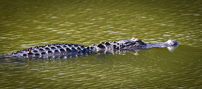 American Alligator, Johns Island