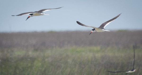 Devaux Bank: Black Skimmers