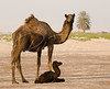 Camel and newborn calf