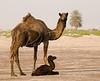 Camel and newborn calf