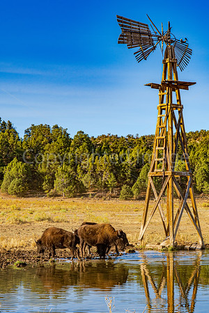 Buffalo by the windmill