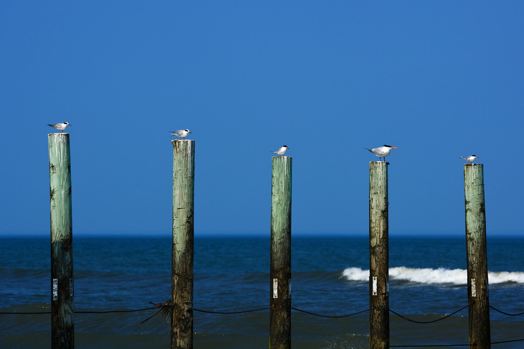More Birds in More Places.  This was just a fun catch on the pilings that divide North Carolina and Virginia in the Northern Outer Banks.