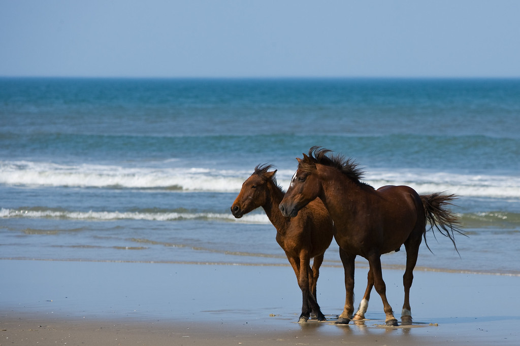 Wild Spanish Mustangs found in Corolla, NC.