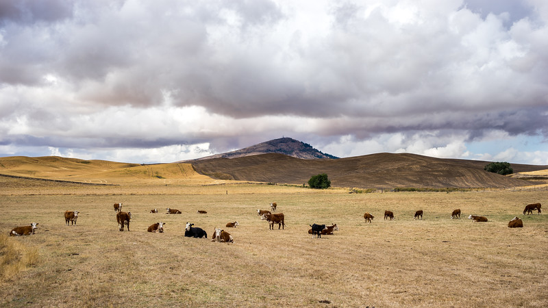 Cows on the Palouse ~ Steptoe Butte in the background.