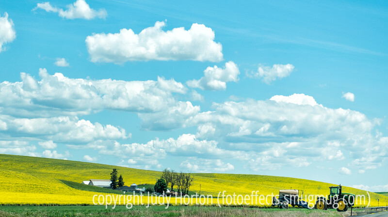 Rapeseed in the Palouse