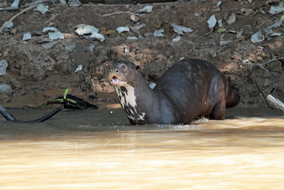Another Otter family at a different part of the river. We didn't see any young ones there.