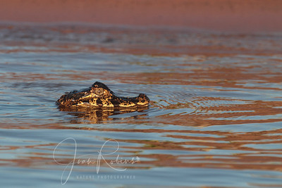 Very young Caiman