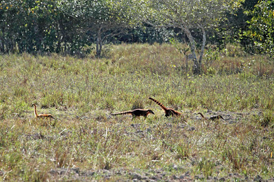 On our way along the Transpantaneira, we saw this Coati family trot by in the distance