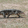 A Tegu right outside our dining hall!  Big fellow!