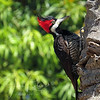 Crimson-crested Woodpecker, Brazil Pantanal