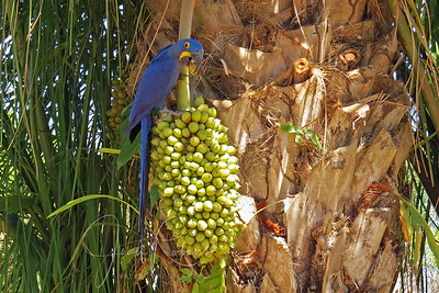 Back at Porto Jofre for lunch--just as this Hyacinth Macaw was having his. Brazil Pantanal.