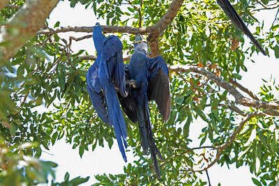 Hyacinth Macaw hanging by beaks, talons intertwined, Brazil Pantanal