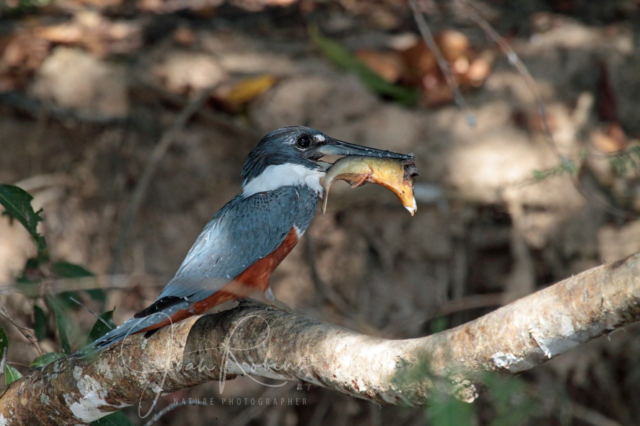 Ringed Kingfisher, Brazil Pantanal