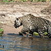 No luck, in fact none of the hunting Jaguar we saw were successful in catching Caiman or Capybara. One photographer/researcher said she witnessed a Jaguar and Caiman tug of war. The Caiman was hanging onto a tree. The Jaguar yanked and yanked until it finally walked off with both Caiman and tree!