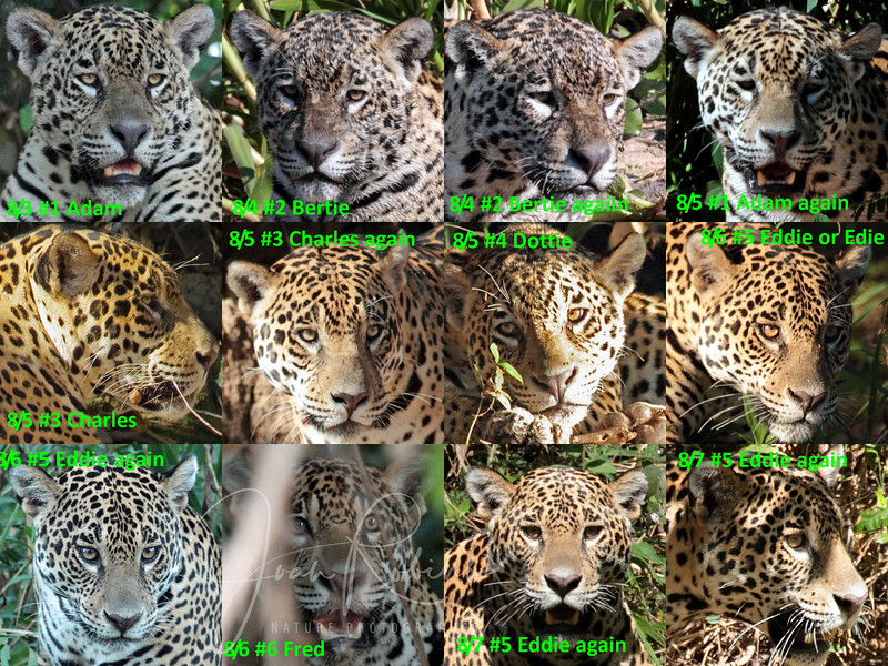 We saw many Jaguar, in fact so many that only Pablo, our Guide, could keep them straight. So I decided to examine the patterns on their faces to see the differences. I wound up naming them, Adam, Bertie, Charles, Dottie, Eddie (or Edie), Fred, and George. We actually saw 8 individuals, but I can't seem to find Harry, who would be #8.