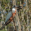 Kingfisher with lunch