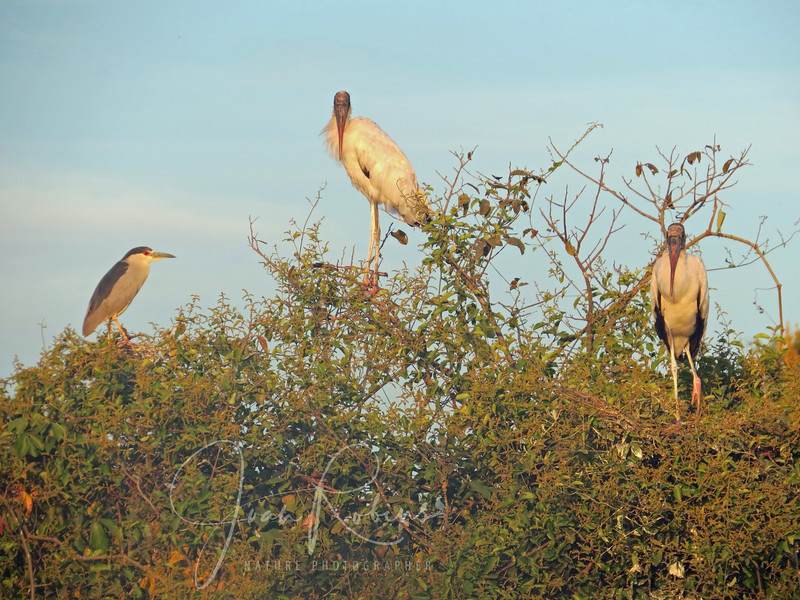 August 7, back on the road after our morning boat ride. We travel slowly, stopping often to see the wildlife. Here, a Night Heron and Wood Storks glow in the setting sun.