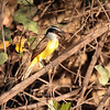 Great Kiskadee, these beautiful birds were ever-present, Janice's favorite.