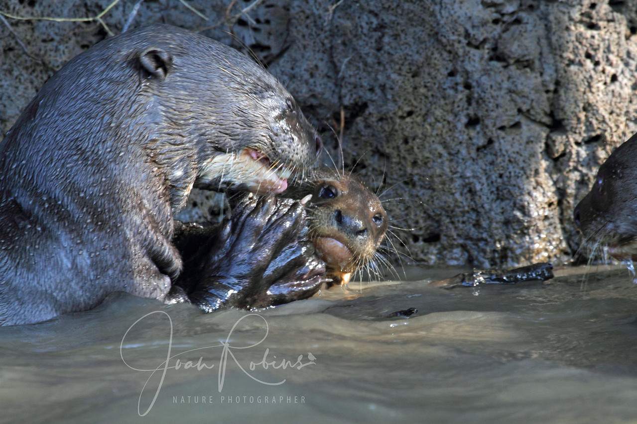 Grooming seems to be an important activity for Giant Otters, Brazil Pantanal