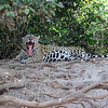 Yet another Jaguar in the  Brazil Pantanal.