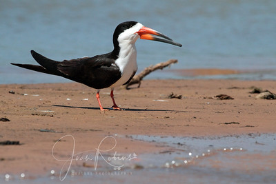 Black Skimmer on a sandbar in the river
