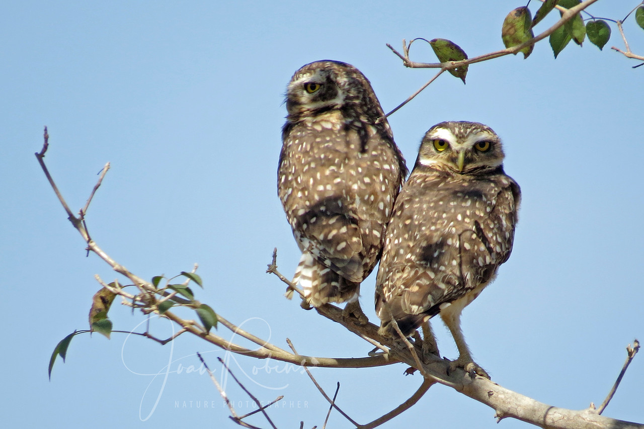 Burrowing Owls, Brazil Pantanal