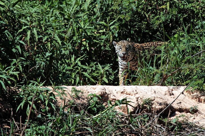Another Jaguar on the hunt