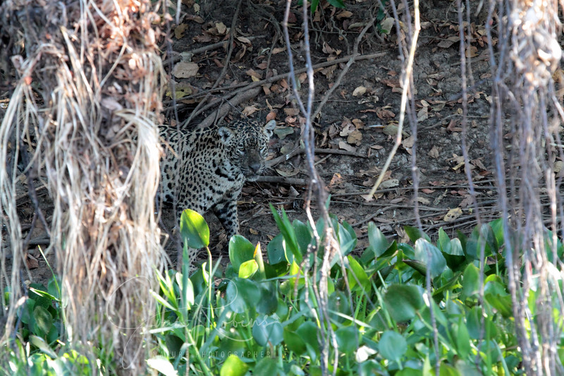 This is a different Jaguar, young and much darker face.