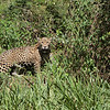 Our last Jaguar sighting. I think this is Eddie again.