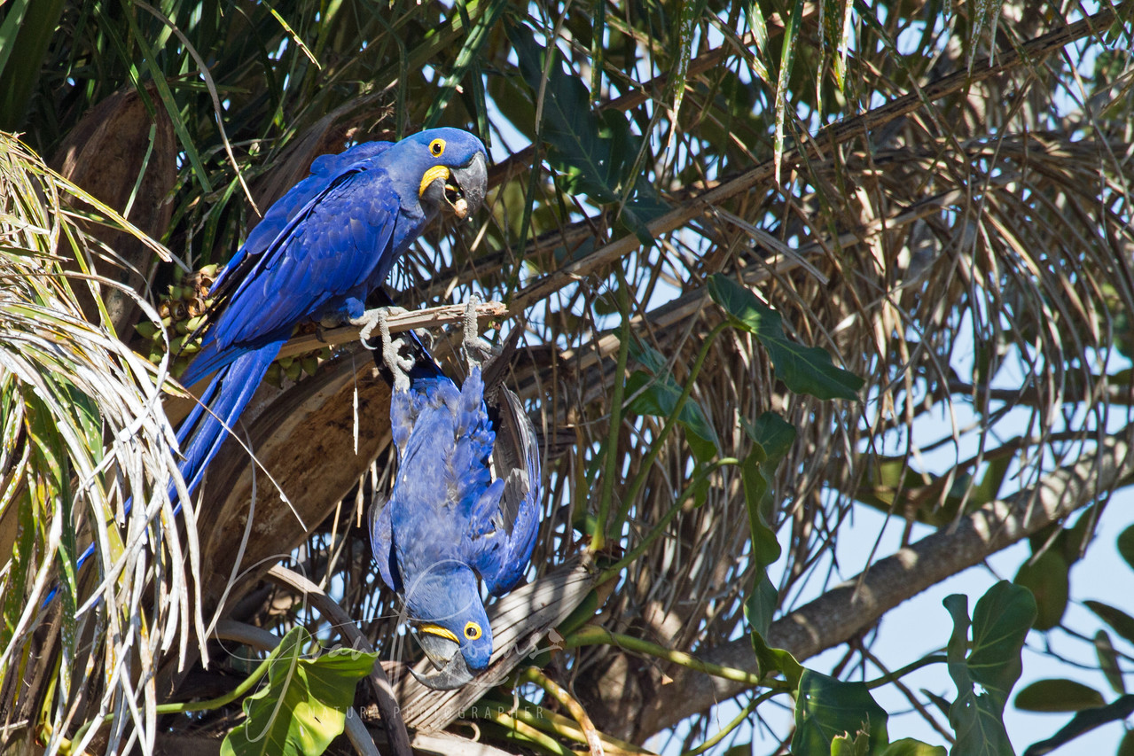 Hanging by toes, Brazil Pantanal