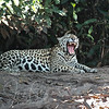 Our Jaguar is still sleepy and yawning away.