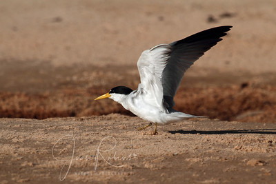 Large-billed Tern?